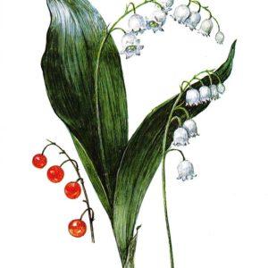Старая советская открытка «Ландыш майский»