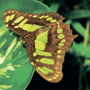 Открытка для посткроссинга «Зелёная длиннокрылка Дидо»