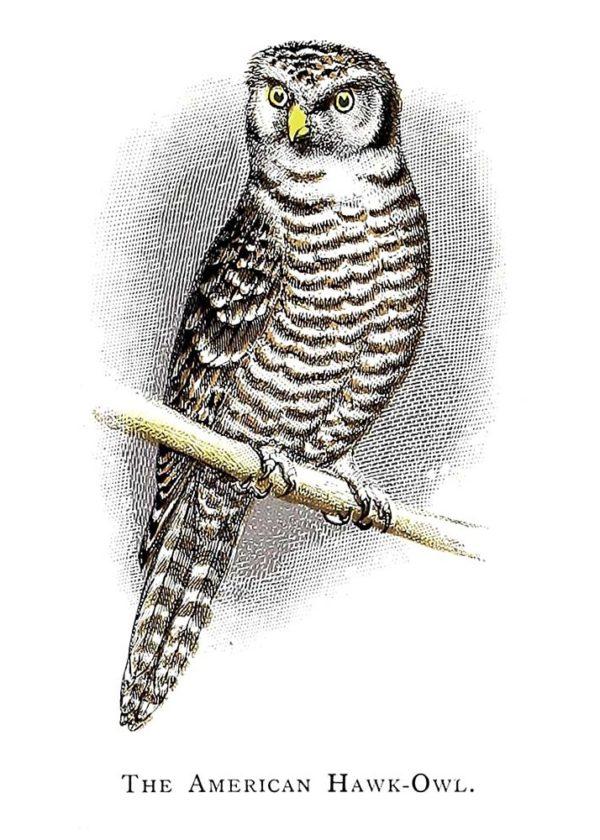 Открытка для посткроссинга «Американская ястребиная сова»
