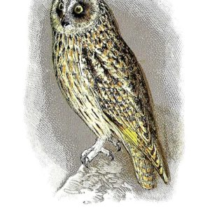 Открытка для посткроссинга «Короткоухая сова»