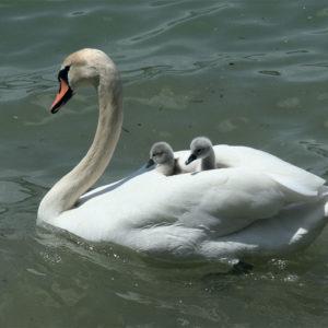 Открытка для посткроссинга «Лебеди»